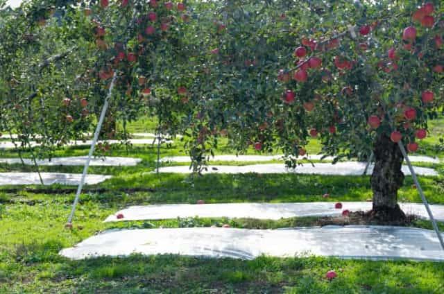 反射シートの敷かれたリンゴ畑