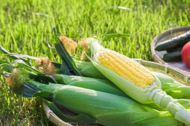 収穫されたトウモロコシ