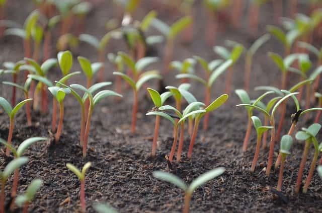 発芽したばかりの芽
