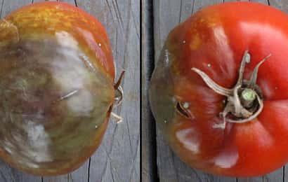 トマト疫病 果実