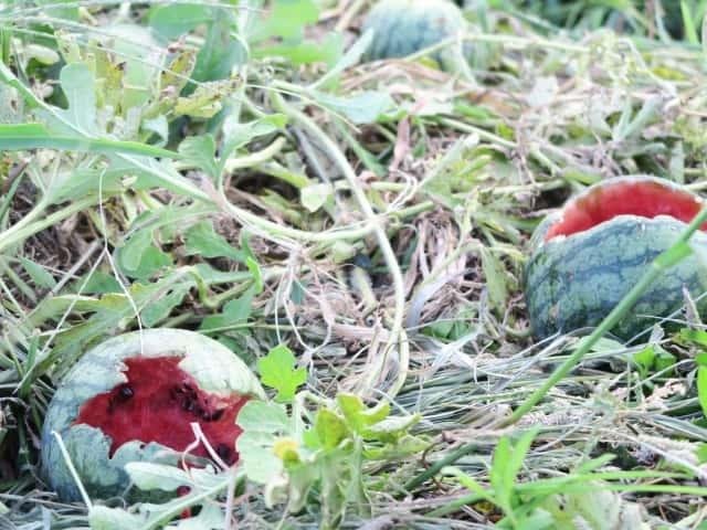 鳥の被害に遭ったスイカ