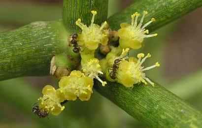 ミルクブッシュの花