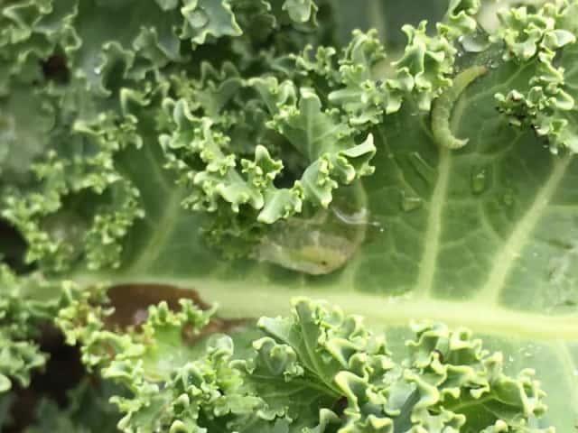 アブラナ科作物を食害するコナガの幼虫