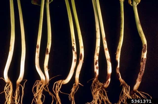 リゾクトニア 豆