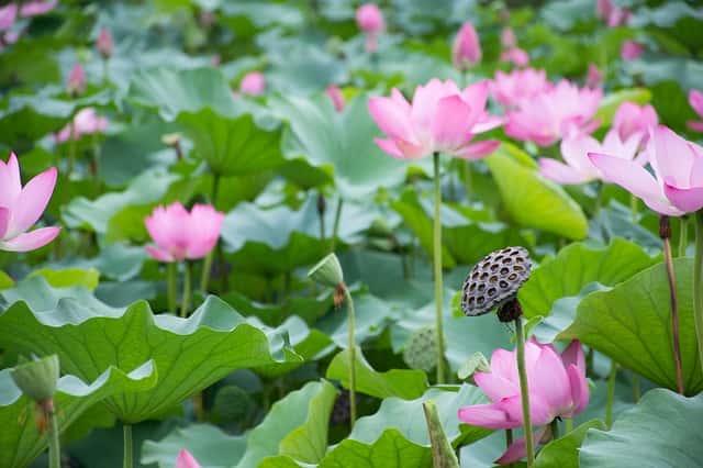 ハスの花と葉