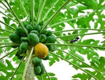 たくさんの実がついたパパイヤの木