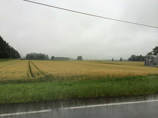 雨に濡れた田んぼ
