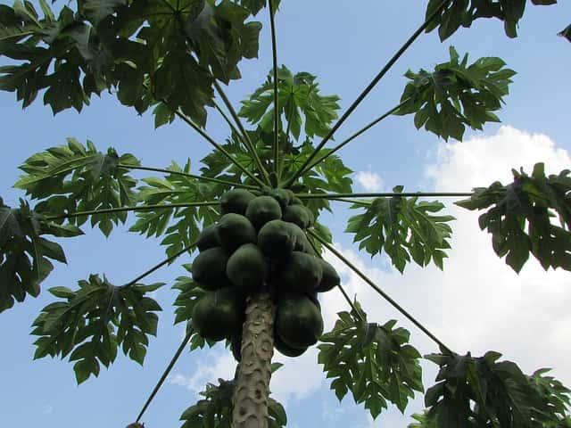 パパイヤの木(Luis Anibal Bolivar撮影)