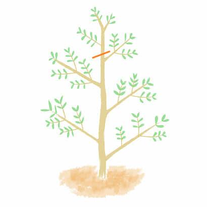 オリーブの木の芯を止める