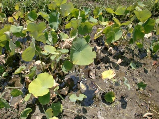 レンコン栽培