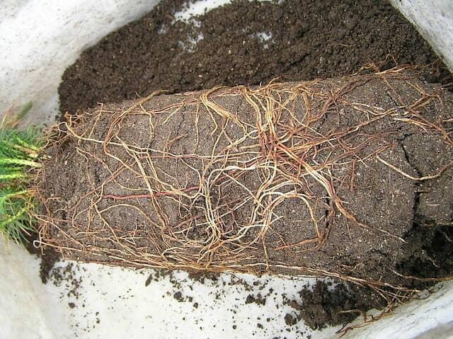リゾクトニア菌におかされた植物の根