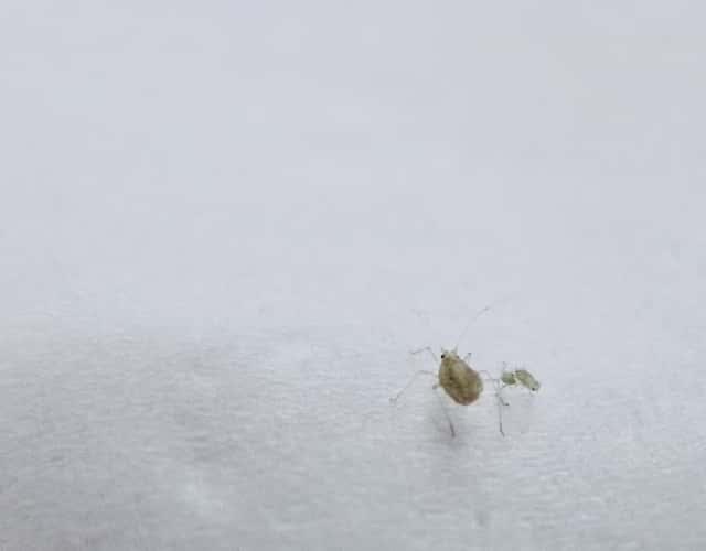 小さなアブラムシが白い布の上にいる