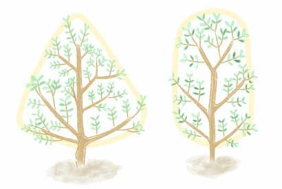 オリーブの樹形イラスト