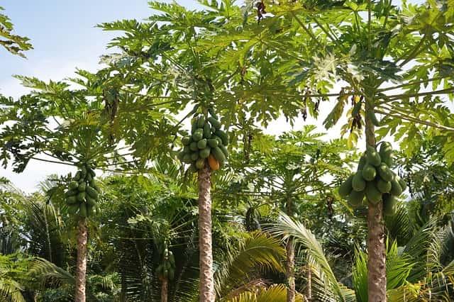 南国のパパイヤの木(Tina Kersting撮影)