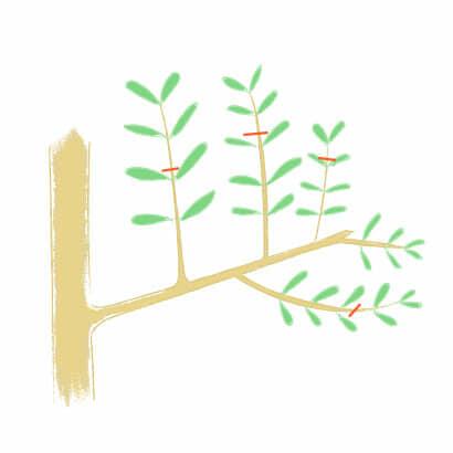 オリーブの長い枝を切り詰める