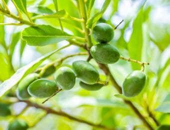 きれいなオリーブの葉と実