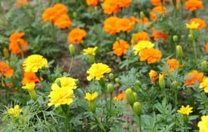 対抗植物の代表格マリーゴールド