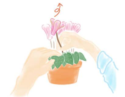 シクラメン 花摘み