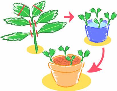 挿し木、アジサイ、育て方、栽培