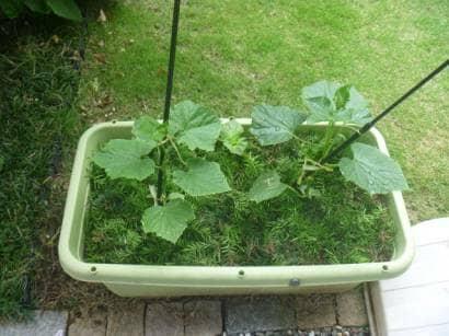 プランターできゅうり栽培