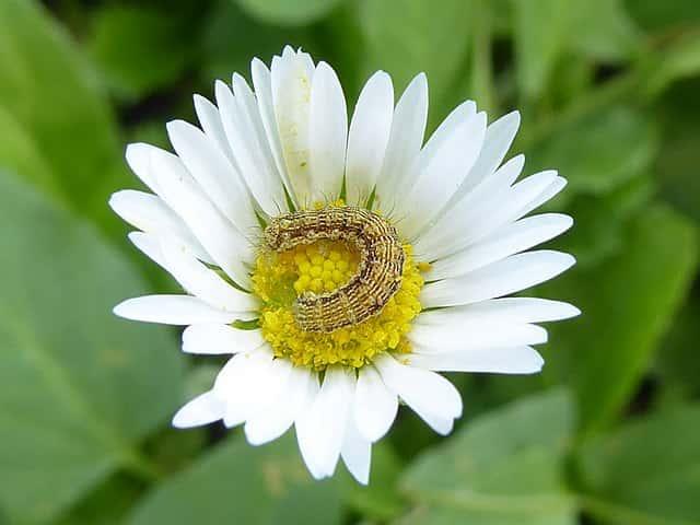 花の上のオオタバコガ
