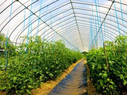 トマト支柱栽培