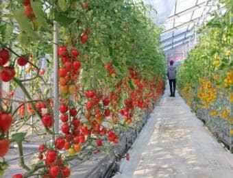 ハウス内でのトマト栽培