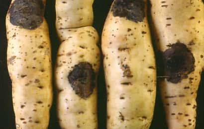 サツマイモ黒斑病におかされた貯蔵中のサツマイモ