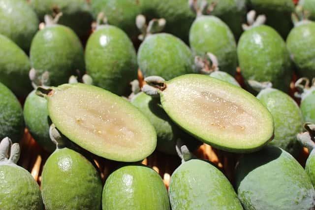 きれいに並んだフェイジョアの緑の果実