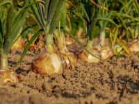 タマネギ栽培