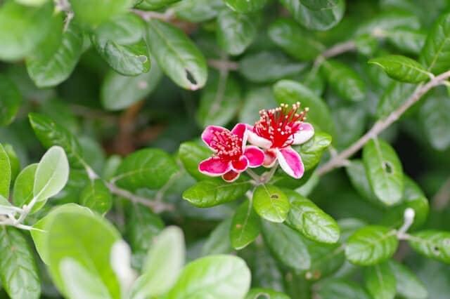 生垣に向いているフェイジョアの木と赤い花