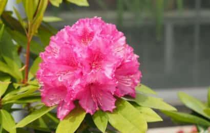 大きく鮮やかに咲いたシャクナゲ