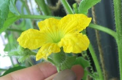 ころたん、人工授粉、雌花、開花
