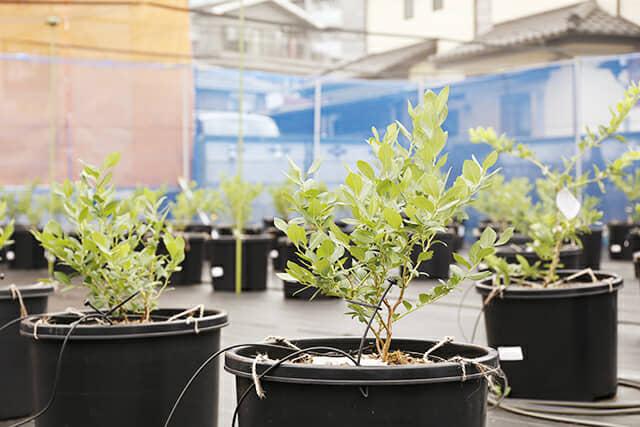 鉢植えで育てるブルーベリー