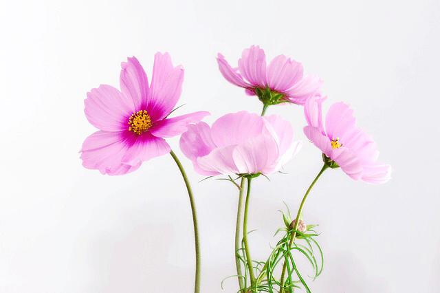 コスモス 花の楽しみ方