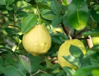 緑に茂るレモンの木の間に実る黄色のレモン