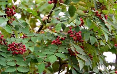 山椒の木に赤山椒がたくさんなる