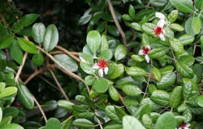 枝が混み合ったフェイジョアの木に花が咲く