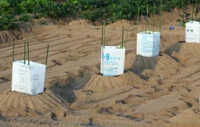 植え付け時に風除けしたスイカの苗
