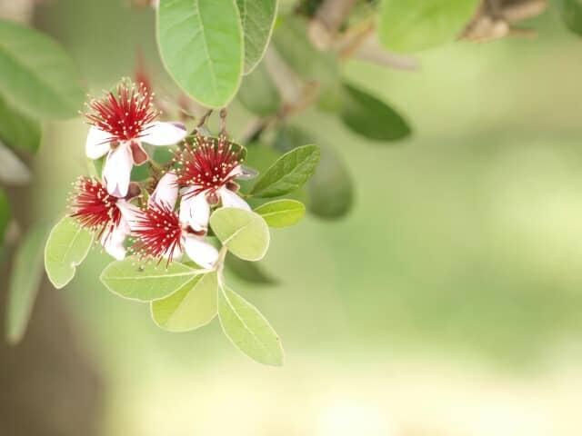 真っ赤なおしべが際立つフェイジョアの花と緑の葉が光るフェイジョアの木