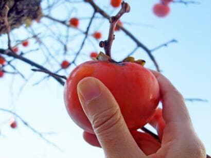 熟れた柿を柿の木から取る手