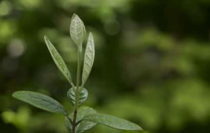 フェイジョアの芽が伸びる