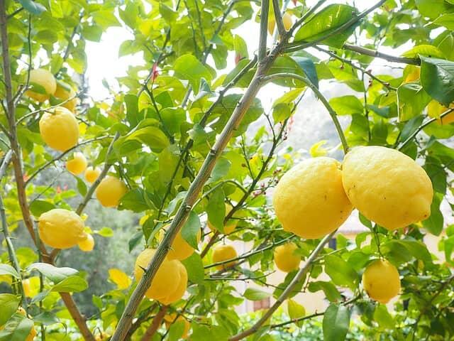 葉が茂ったレモンの木