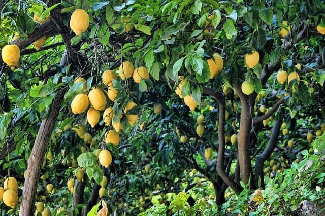 レモンの木に黄色のレモンがたくさんなっている
