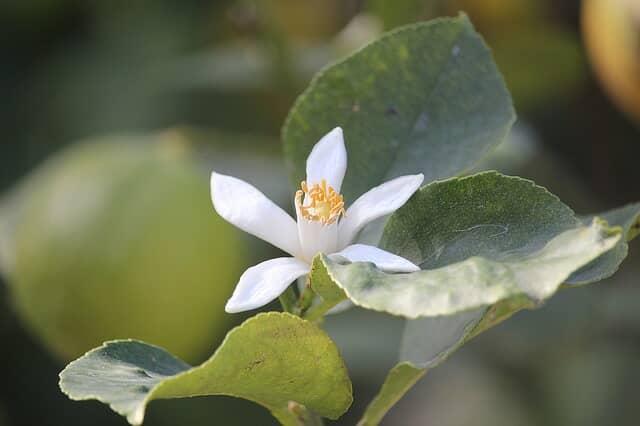 レモンの緑の葉と白い花