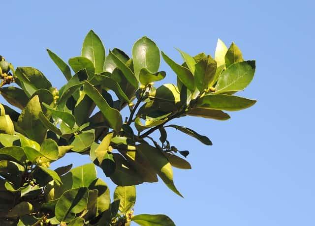 空に伸びたレモンの木の枝