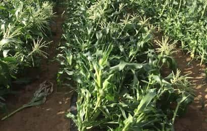 台風対策、倒れたトウモロコシ
