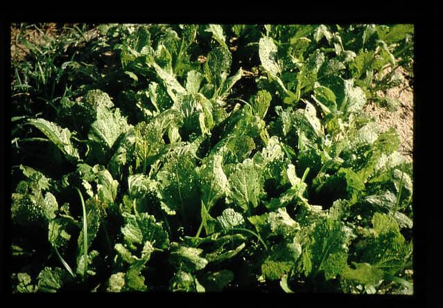 キスジノミハムシが被害を与えるアブラナ科作物
