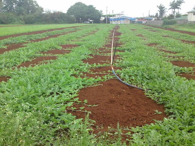 スイカの露地栽培