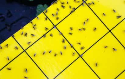 ホリバーにたかるハモグリバエ類の成虫
